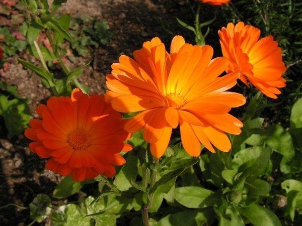 Fond ecran gratuit fleurs automne for Fleurs automne